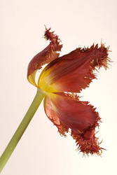 Ruffle Tulip, Red Yellow Profile on White