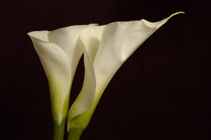 Calla Lilly's on Black